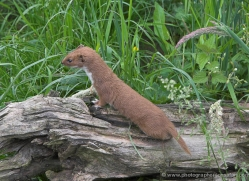 stoat-british-wildlife-2596-copyright-photographers-on-safari-com