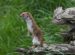 stoat-british-wildlife-2599-copyright-photographers-on-safari-com