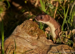 stoat-british-wildlife-2603-copyright-photographers-on-safari-com
