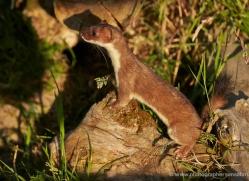 stoat-british-wildlife-2604-copyright-photographers-on-safari-com