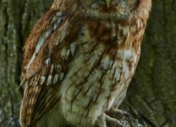 tawny-owl-british-wildlife-2683-copyright-photographers-on-safari-com