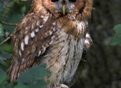 tawny-owl-british-wildlife-2684-copyright-photographers-on-safari-com