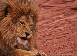 barbary-lion-moab-2046-copyright-photographers-on-safari-com