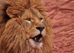 barbary-lion-moab-2047-copyright-photographers-on-safari-com