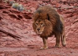 barbary-lion-moab-2050-copyright-photographers-on-safari-com