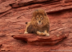 barbary-lion-moab-2053-copyright-photographers-on-safari-com