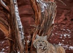 bobcat-moab-2063-copyright-photographers-on-safari-com