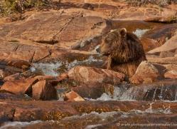 brown-bear-moab-2069-copyright-photographers-on-safari-com