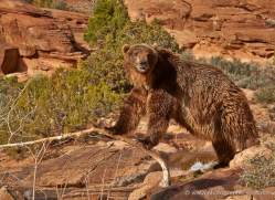 brown-bear-moab-2074-copyright-photographers-on-safari-com