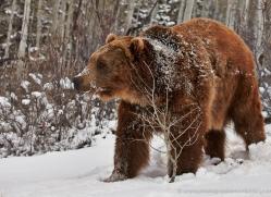 brown-bear-moab-2075-copyright-photographers-on-safari-com