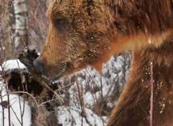 brown-bear-moab-2081-copyright-photographers-on-safari-com