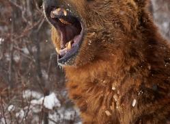 brown-bear-moab-2083-copyright-photographers-on-safari-com