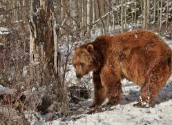 brown-bear-moab-2086-copyright-photographers-on-safari-com