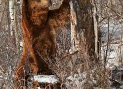 brown-bear-moab-2087-copyright-photographers-on-safari-com