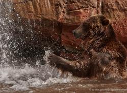 brown-bear-moab-2091-copyright-photographers-on-safari-com
