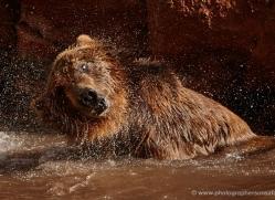 brown-bear-moab-2092-copyright-photographers-on-safari-com