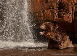 brown-bear-moab-2095-copyright-photographers-on-safari-com