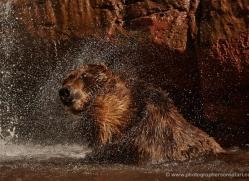 brown-bear-moab-2100-copyright-photographers-on-safari-com