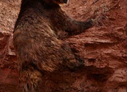 brown-bear-moab-2101-copyright-photographers-on-safari-com