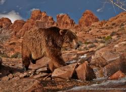 brown-bear-moab-2102-copyright-photographers-on-safari-com