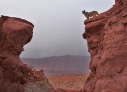 mountain-lion-puma-moab-1975-copyright-photographers-on-safari-com