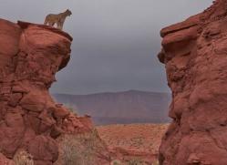 mountain-lion-puma-moab-1976-copyright-photographers-on-safari-com