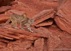 mountain-lion-puma-moab-1977-copyright-photographers-on-safari-com