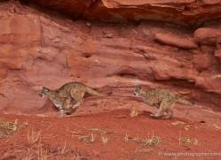 mountain-lion-puma-moab-1978-copyright-photographers-on-safari-com