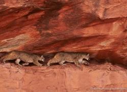 mountain-lion-puma-moab-1981-copyright-photographers-on-safari-com