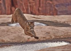 mountain-lion-puma-moab-1984-copyright-photographers-on-safari-com