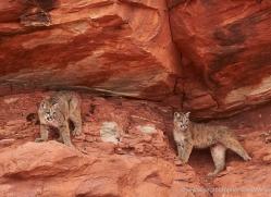 mountain-lion-puma-moab-1986-copyright-photographers-on-safari-com