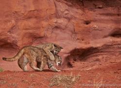 mountain-lion-puma-moab-1990-copyright-photographers-on-safari-com