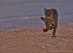mountain-lion-puma-moab-1991-copyright-photographers-on-safari-com