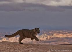 mountain-lion-puma-moab-1994-copyright-photographers-on-safari-com