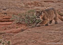 mountain-lion-puma-moab-1995-copyright-photographers-on-safari-com