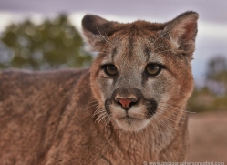 mountain-lion-puma-moab-1996-copyright-photographers-on-safari-com