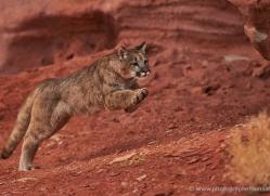 mountain-lion-puma-moab-1997-copyright-photographers-on-safari-com