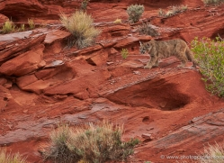mountain-lion-puma-moab-1998-copyright-photographers-on-safari-com