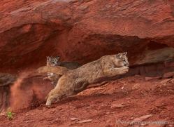 mountain-lion-puma-moab-2001-copyright-photographers-on-safari-com