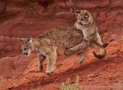 mountain-lion-puma-moab-2002-copyright-photographers-on-safari-com