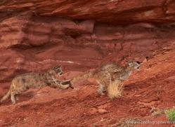 mountain-lion-puma-moab-2006-copyright-photographers-on-safari-com