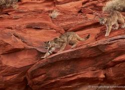 mountain-lion-puma-moab-2008-copyright-photographers-on-safari-com