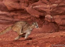 mountain-lion-puma-moab-2009-copyright-photographers-on-safari-com
