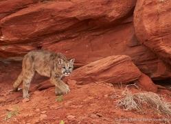 mountain-lion-puma-moab-2011-copyright-photographers-on-safari-com
