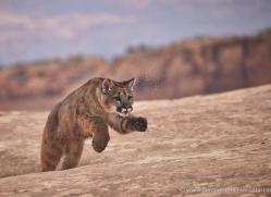 mountain-lion-puma-moab-2015-copyright-photographers-on-safari-com