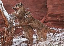 mountain-lion-puma-moab-2018-copyright-photographers-on-safari-com
