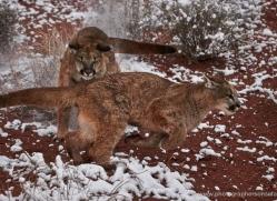 mountain-lion-puma-moab-2024-copyright-photographers-on-safari-com