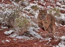 mountain-lion-puma-moab-2027-copyright-photographers-on-safari-com
