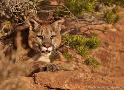 mountain-lion-puma-moab-2033-copyright-photographers-on-safari-com