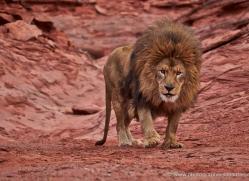 barbary-lion-moab-2048-copyright-photographers-on-safari-com